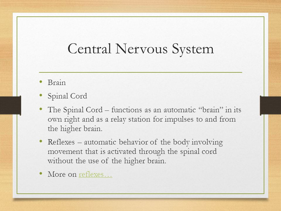 """Central Nervous System Brain Spinal Cord The Spinal Cord – functions as an automatic """"brain"""" in its own right and as a relay station for impulses to a"""