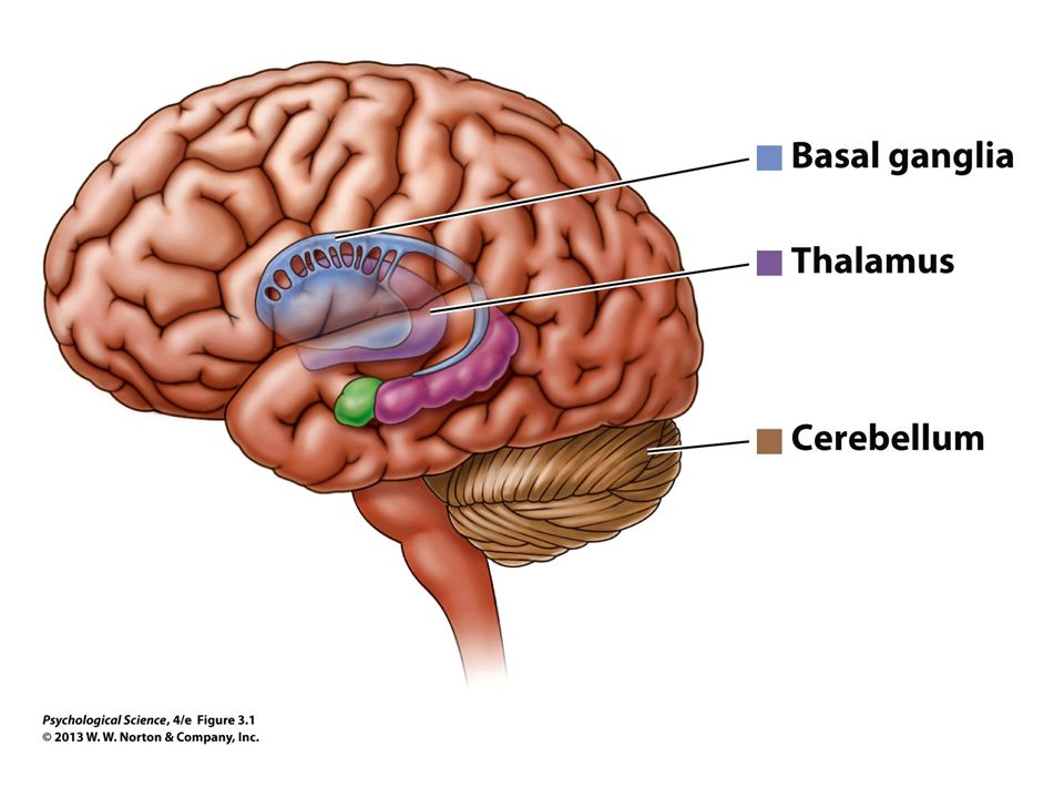 Hypothalamus The hypothalamus is the brain's master regulatory structure Affects the functions of many internal organs, regulating body temperature, body rhythms, blood pressure, and blood glucose levels Also involved in many motivated behaviors, including thirst, hunger, aggression, and lust