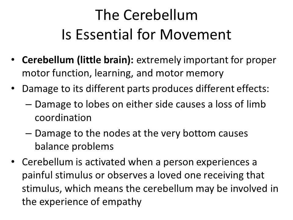 The Cerebellum Is Essential for Movement Cerebellum (little brain): extremely important for proper motor function, learning, and motor memory Damage to its different parts produces different effects: – Damage to lobes on either side causes a loss of limb coordination – Damage to the nodes at the very bottom causes balance problems Cerebellum is activated when a person experiences a painful stimulus or observes a loved one receiving that stimulus, which means the cerebellum may be involved in the experience of empathy