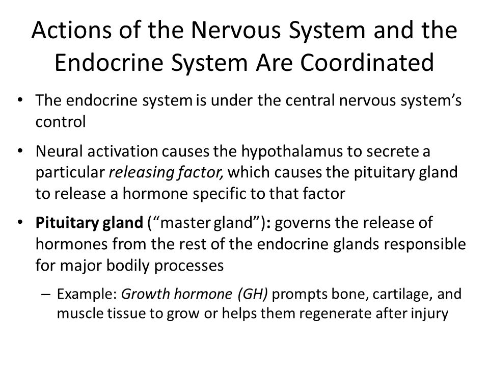 Actions of the Nervous System and the Endocrine System Are Coordinated The endocrine system is under the central nervous system's control Neural activation causes the hypothalamus to secrete a particular releasing factor, which causes the pituitary gland to release a hormone specific to that factor Pituitary gland ( master gland ): governs the release of hormones from the rest of the endocrine glands responsible for major bodily processes – Example: Growth hormone (GH) prompts bone, cartilage, and muscle tissue to grow or helps them regenerate after injury