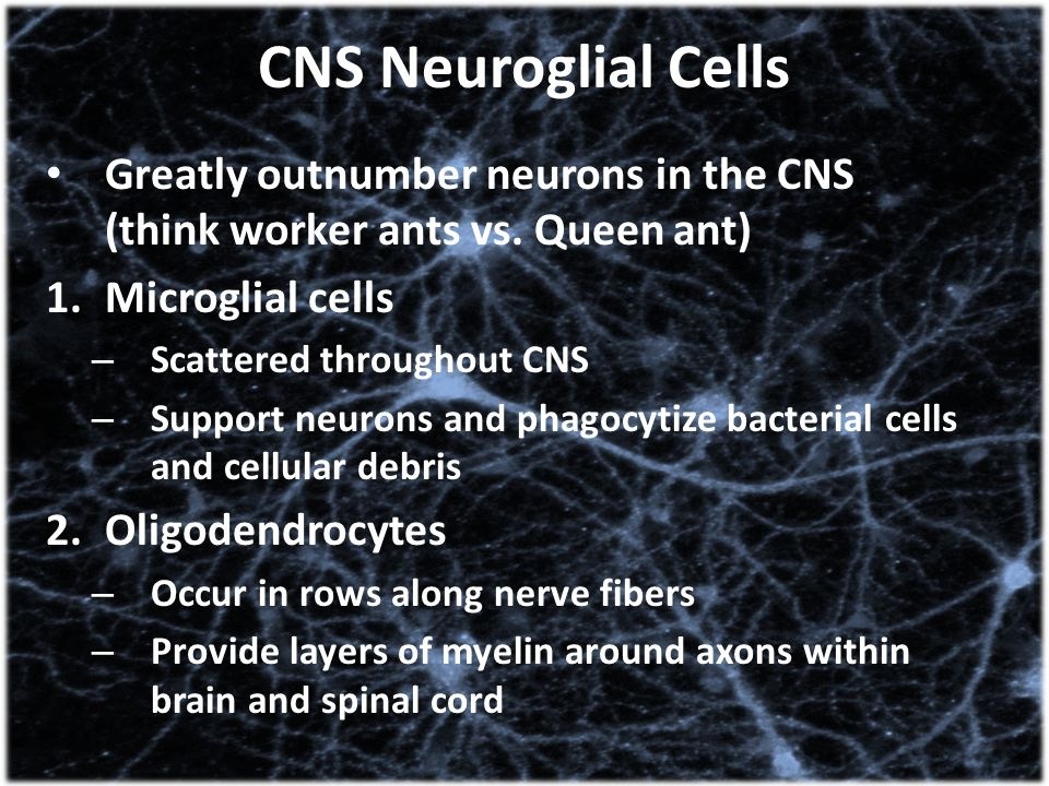 CNS Neuroglial Cells Greatly outnumber neurons in the CNS (think worker ants vs. Queen ant) 1.Microglial cells – Scattered throughout CNS – Support ne