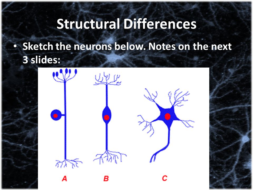 Structural Differences Sketch the neurons below. Notes on the next 3 slides: