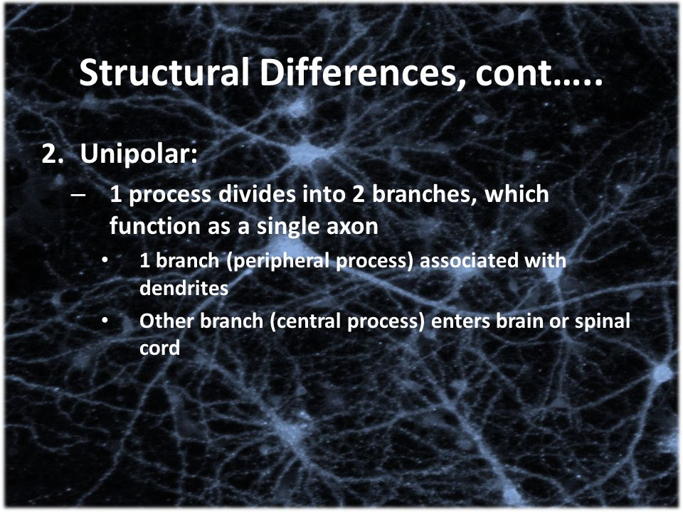 Structural Differences, cont….. 2.Unipolar: – 1 process divides into 2 branches, which function as a single axon 1 branch (peripheral process) associa