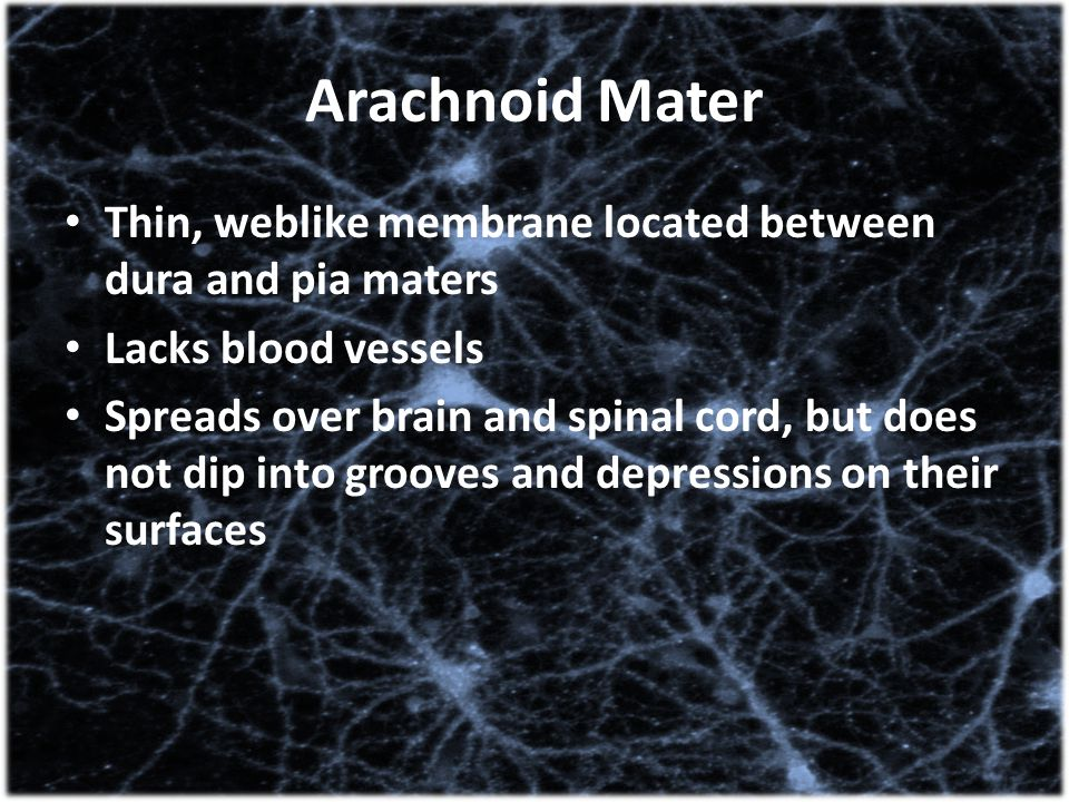 Arachnoid Mater Thin, weblike membrane located between dura and pia maters Lacks blood vessels Spreads over brain and spinal cord, but does not dip in