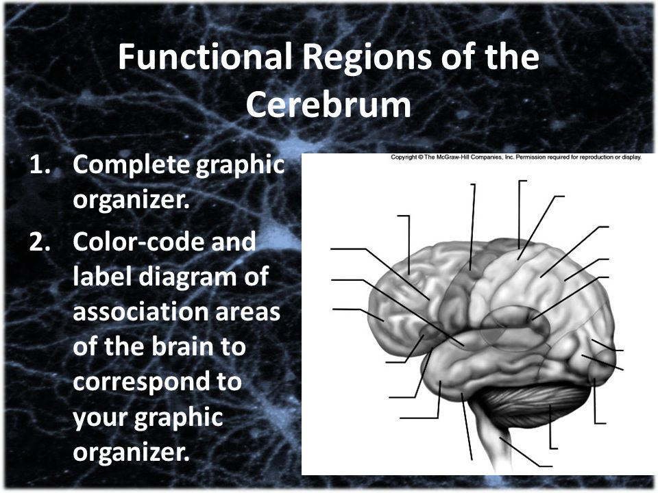 Functional Regions of the Cerebrum 1.Complete graphic organizer. 2.Color-code and label diagram of association areas of the brain to correspond to you