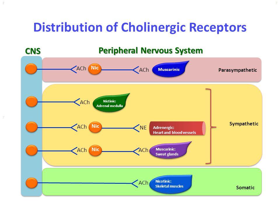 Kuls oo m Distribution of Cholinergic Receptors CNS ACh Nic ACh Nic NE ACh Nic ACh Muscarinic Parasympathetic Nictinic: Adrenal medulla Adrenergic: He