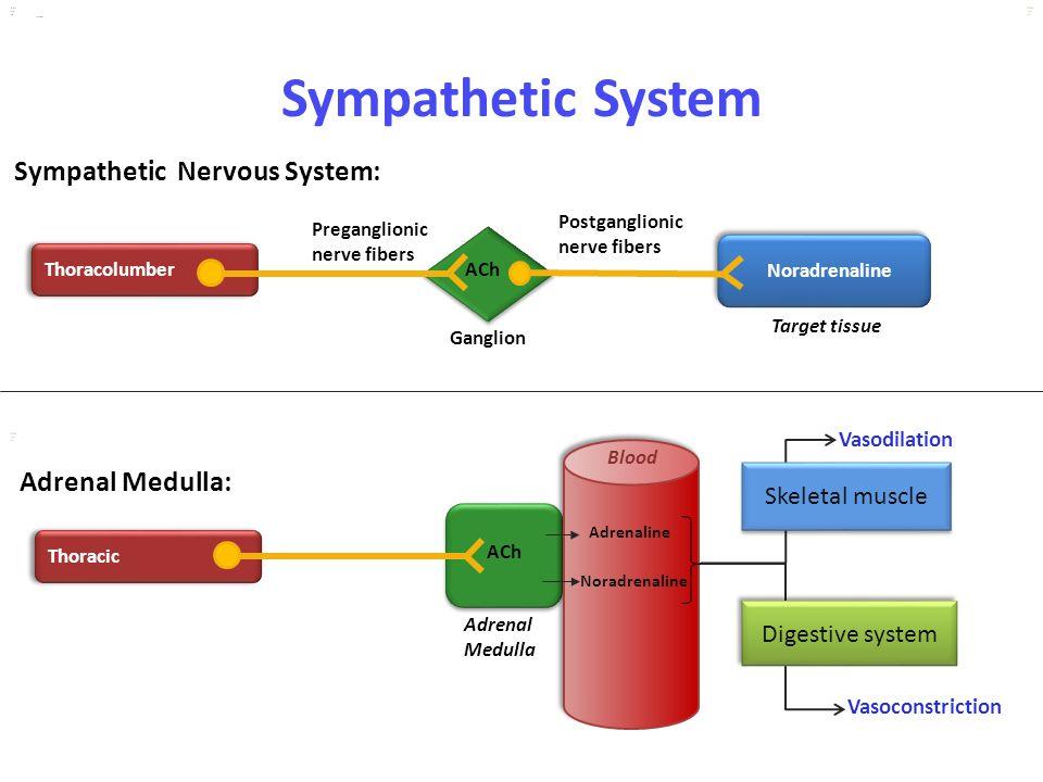 Kuls oo m Sympathetic System Sympathetic Nervous System: kulsoom Thoracolumber Noradrenaline Ganglion Preganglionic nerve fibers Postganglionic nerve