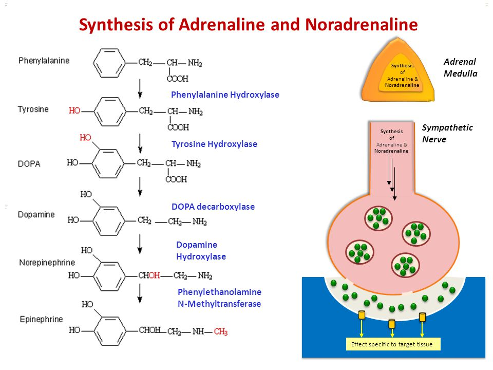 Kuls oo m Synthesis of Adrenaline & Noradrenaline Effect specific to target tissue Synthesis of Adrenaline and Noradrenaline Adrenal Medulla Phenylala