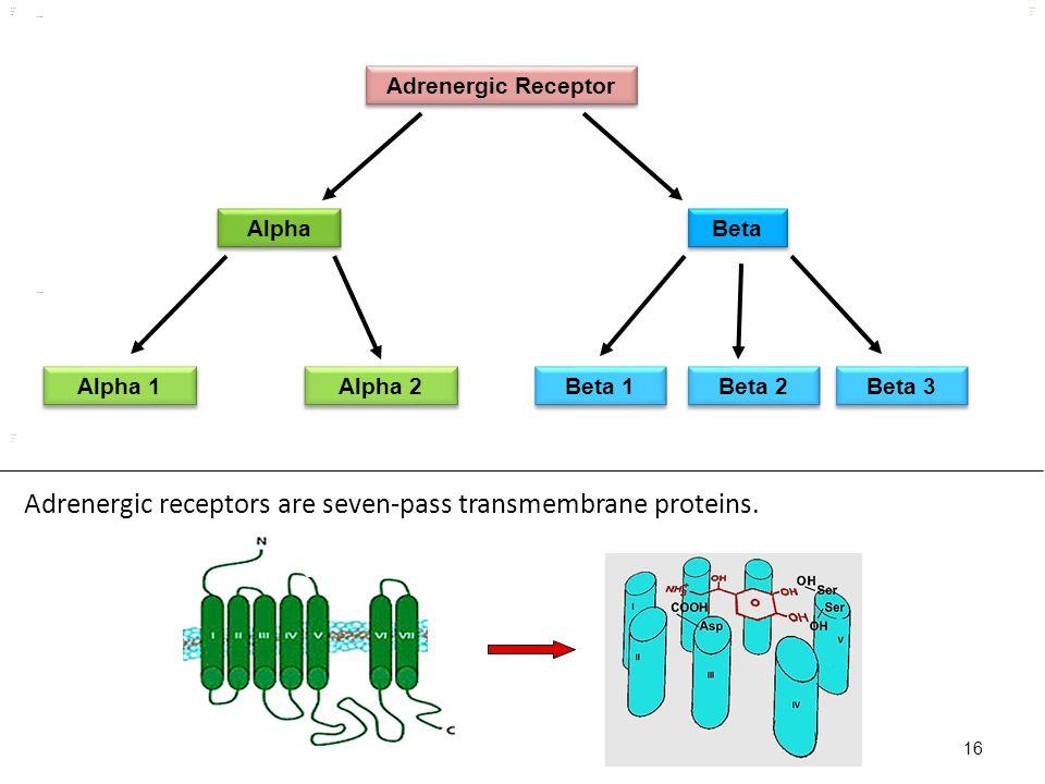 Kuls oo m 16 Adrenergic Receptor Alpha Beta Alpha 1 Alpha 2 Beta 1 Beta 2 kulsoom Beta 3 kulsoom Adrenergic receptors are seven-pass transmembrane pro