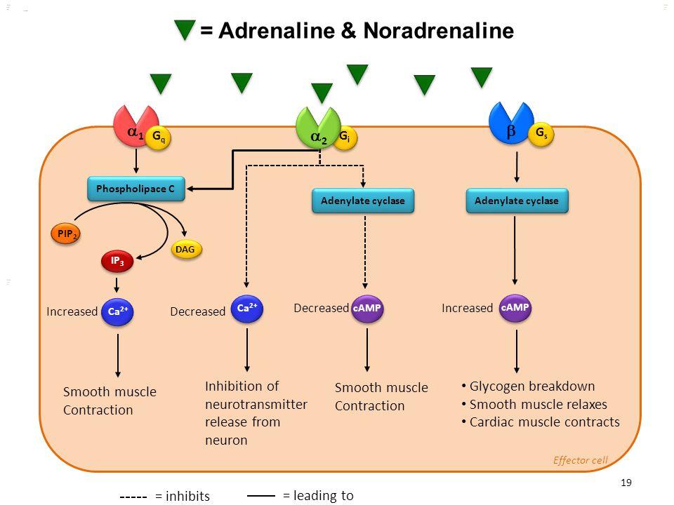 Kuls oo m 19 PIP 2 IP 3 DAG Ca 2+ cAMP = Adrenaline & Noradrenaline kulsoom 11  GsGs GiGi GqGq Phospholipace C Adenylate cyclase Glycogen breakdown