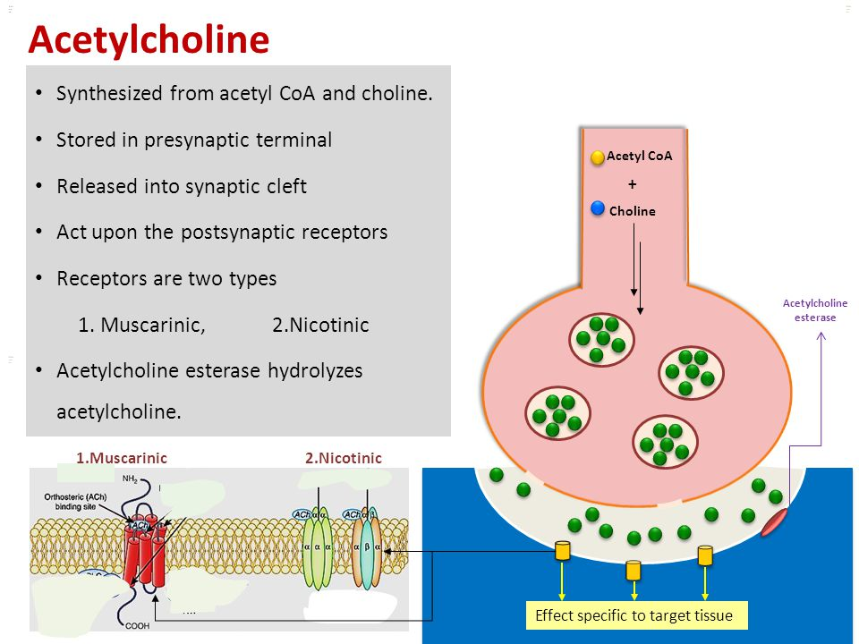Kuls oo m Acetylcholine Synthesized from acetyl CoA and choline. Stored in presynaptic terminal Released into synaptic cleft Act upon the postsynaptic