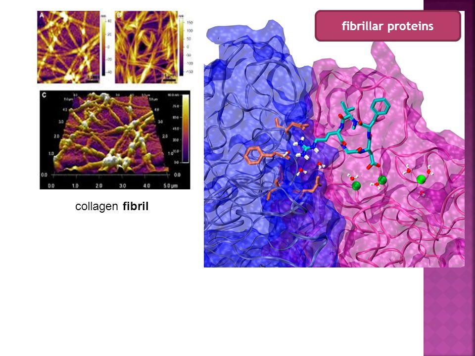 collagen fibril fibrillar proteins