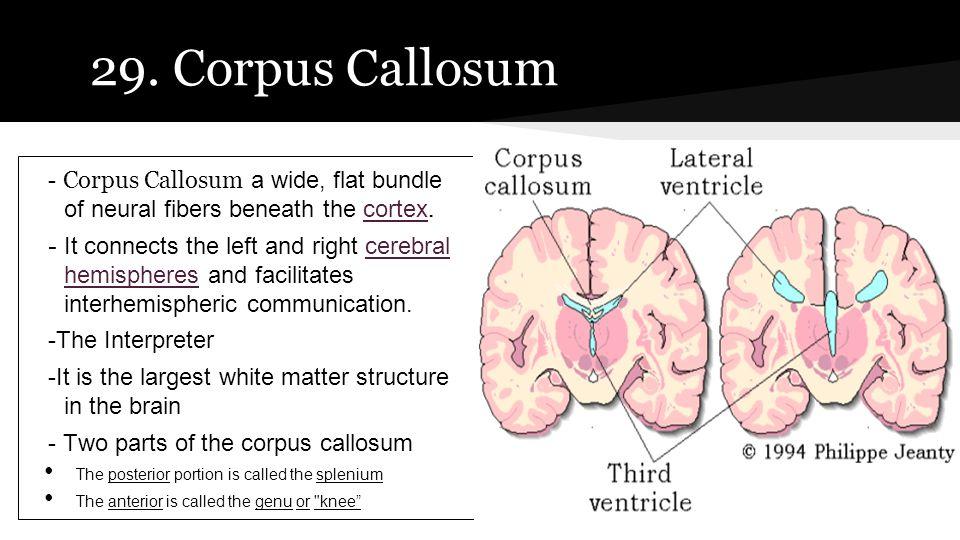 29. Corpus Callosum - Corpus Callosum a wide, flat bundle of neural fibers beneath the cortex.cortex - It connects the left and right cerebral hemisph