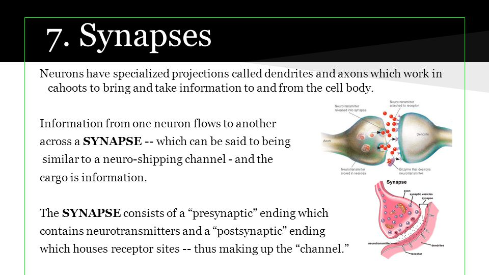 7. Synapses Neurons have specialized projections called dendrites and axons which work in cahoots to bring and take information to and from the cell b