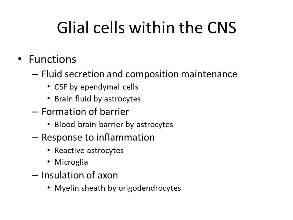 Glial cells within the CNS Functions – Fluid secretion and composition maintenance CSF by ependymal cells Brain fluid by astrocytes – Formation of barrier Blood-brain barrier by astrocytes – Response to inflammation Reactive astrocytes Microglia – Insulation of axon Myelin sheath by origodendrocytes