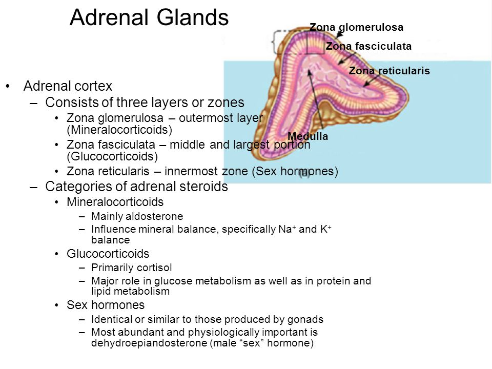 (See next slide) Zona glomerulosa Zona fasciculata Zona reticularis Medulla Adrenal Glands Adrenal cortex –Consists of three layers or zones Zona glom