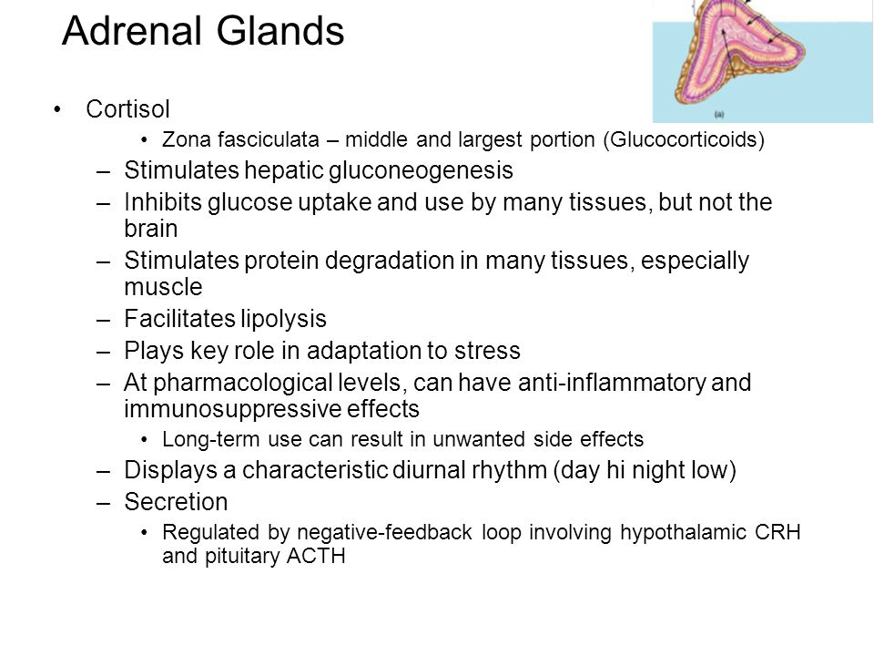 Adrenal Glands Cortisol Zona fasciculata – middle and largest portion (Glucocorticoids) –Stimulates hepatic gluconeogenesis –Inhibits glucose uptake a
