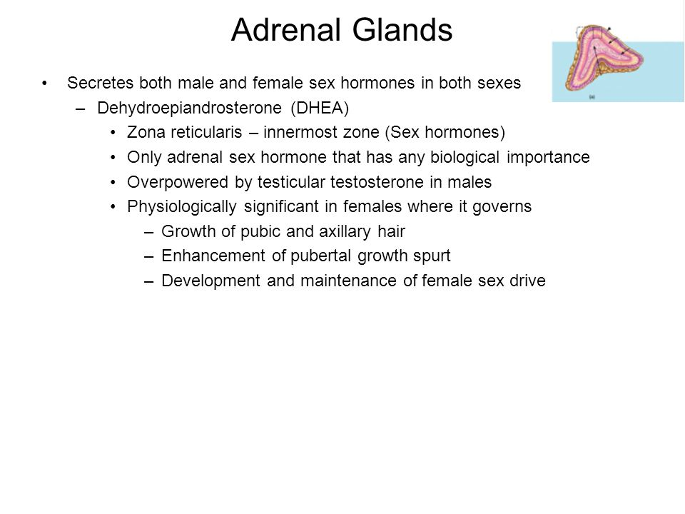 Adrenal Glands Secretes both male and female sex hormones in both sexes –Dehydroepiandrosterone (DHEA) Zona reticularis – innermost zone (Sex hormones) Only adrenal sex hormone that has any biological importance Overpowered by testicular testosterone in males Physiologically significant in females where it governs –Growth of pubic and axillary hair –Enhancement of pubertal growth spurt –Development and maintenance of female sex drive