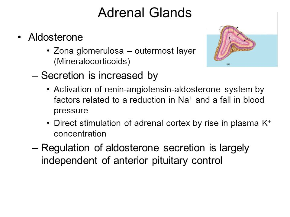 Adrenal Glands Aldosterone Zona glomerulosa – outermost layer (Mineralocorticoids) –Secretion is increased by Activation of renin-angiotensin-aldoster