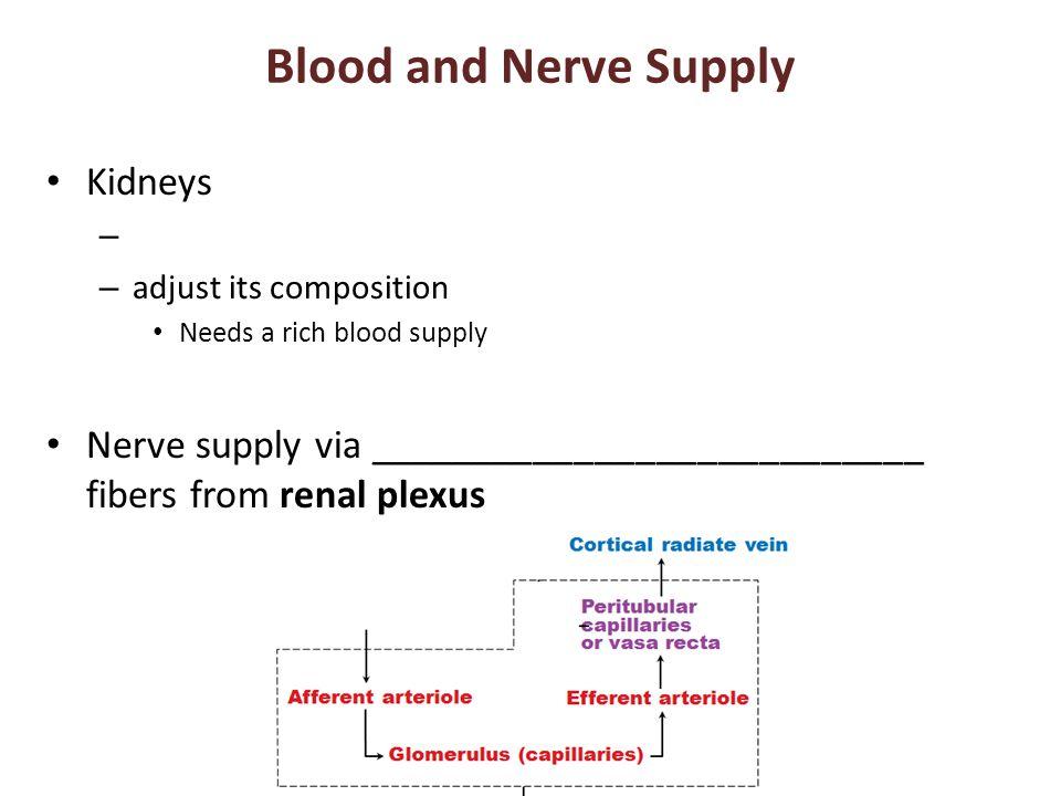 Blood and Nerve Supply Kidneys – – adjust its composition Needs a rich blood supply Nerve supply via ___________________________ fibers from renal plexus