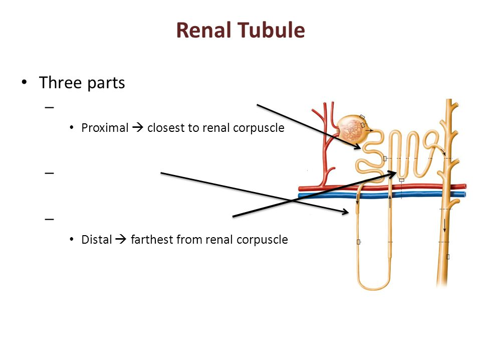 Renal Tubule Three parts – Proximal  closest to renal corpuscle – Distal  farthest from renal corpuscle