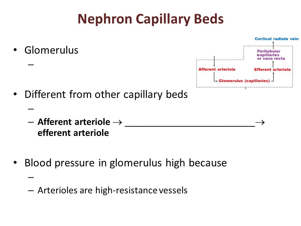 Nephron Capillary Beds Glomerulus – Different from other capillary beds – – Afferent arteriole  __________________________  efferent arteriole Blood pressure in glomerulus high because – – Arterioles are high-resistance vessels