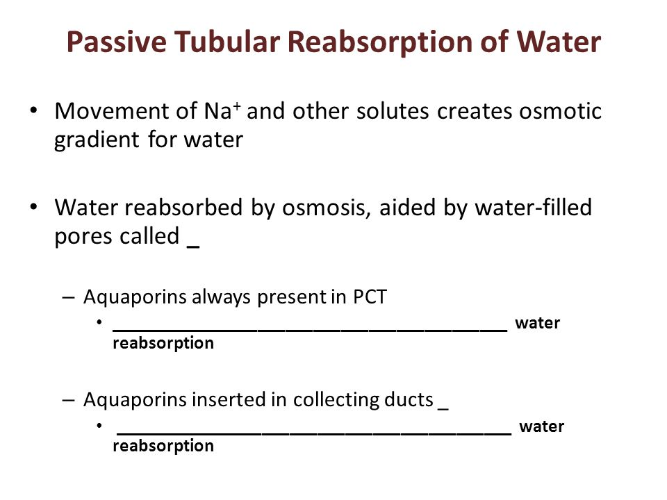 Passive Tubular Reabsorption of Water Movement of Na + and other solutes creates osmotic gradient for water Water reabsorbed by osmosis, aided by wate