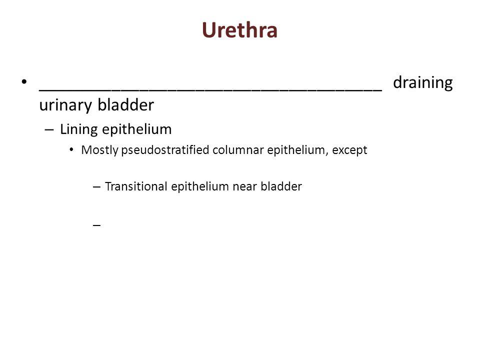 Urethra _____________________________________ draining urinary bladder – Lining epithelium Mostly pseudostratified columnar epithelium, except – Transitional epithelium near bladder –