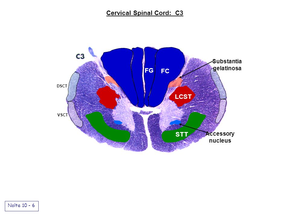 Cervical Spinal Cord: C3 Nolte 10 - 6 FG FC LCST STT Accessory nucleus DSCT VSCT Substantia gelatinosa