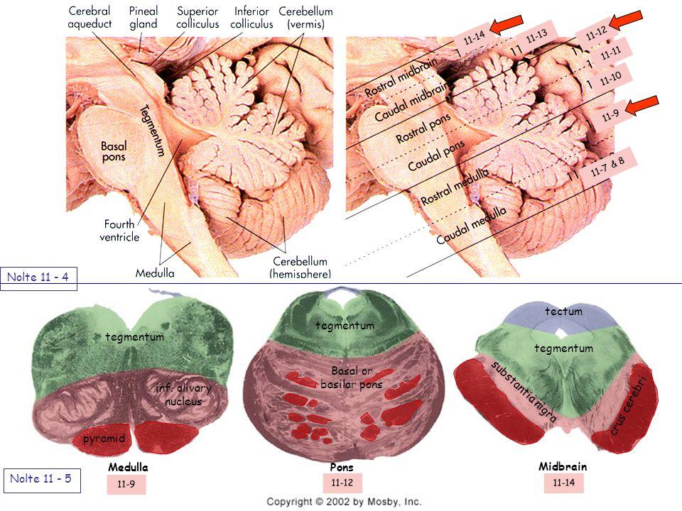 Nolte 11 - 4 Nolte 11 - 5 pyramid tegmentum Basal or basilar pons tegmentum tectum substantia nigra crus cerebri inf.