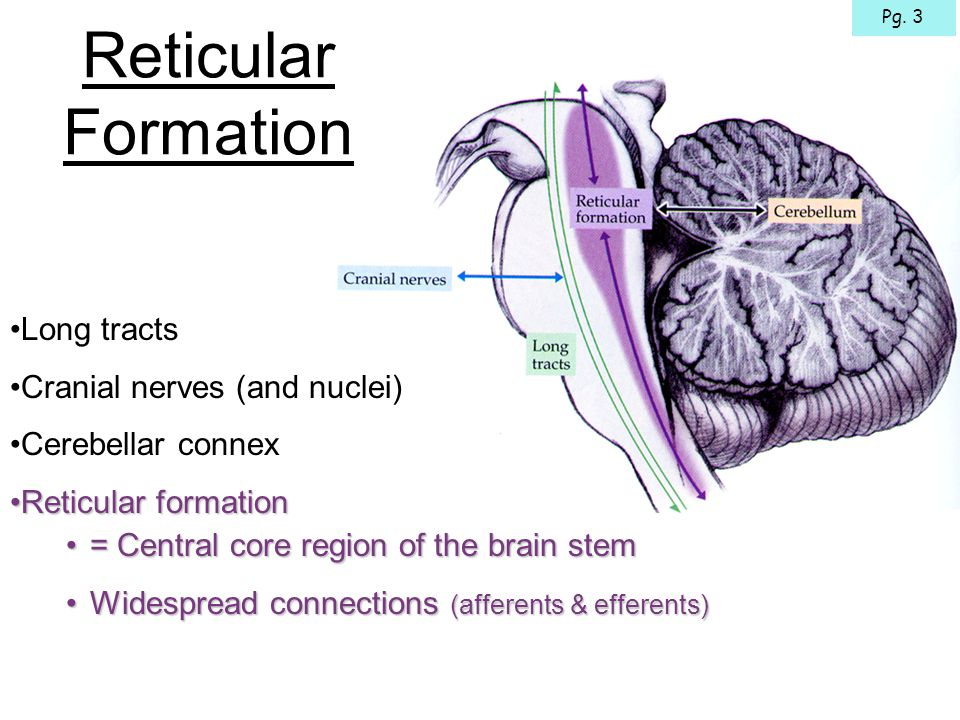 Hypothalamus & Limbic System Cerebral Cortex Raphe Spinal Tract Ouch.