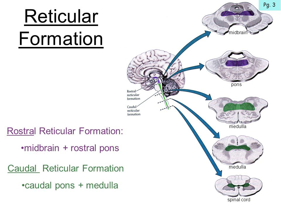 Functional Organization of the Reticular Formation Ascending Reticular Activating System (ARAS) Control of Somatic Motor Functions Regulation of Visceral Functions Analgesic Effect of Raphe Nuclei Alert, conscious state of the forebrain Motor, reflex & autonomic functions Modulation of pain Rostral RF + Diencephalon Raphe Nuclei + Periaqueductal Gray Caudal RF + Cranial Nerve Nuclei + Spinal Cord Pg.