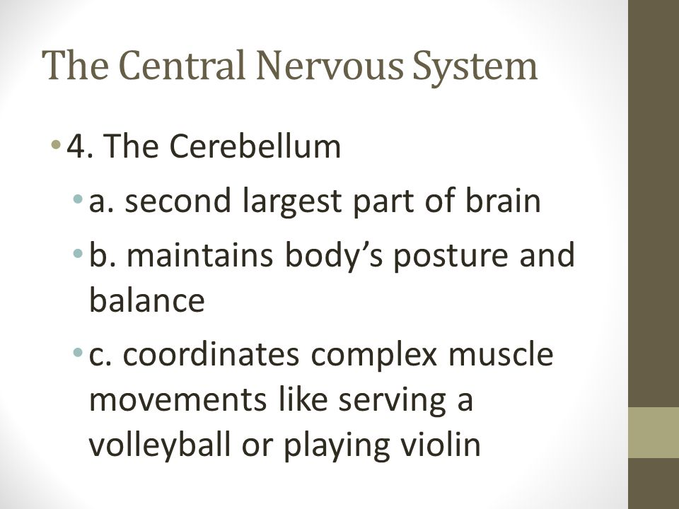 The Central Nervous System 4. The Cerebellum a. second largest part of brain b. maintains body's posture and balance c. coordinates complex muscle mov