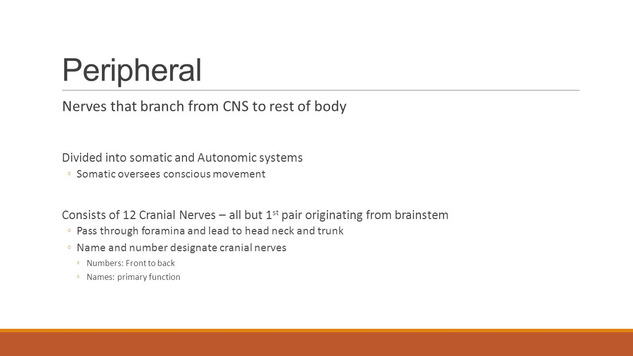 Peripheral Nerves that branch from CNS to rest of body Divided into somatic and Autonomic systems ◦Somatic oversees conscious movement Consists of 12