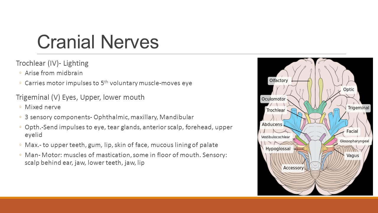 Cranial Nerves Trochlear (IV)- Lighting ◦Arise from midbrain ◦Carries motor impulses to 5 th voluntary muscle-moves eye Trigeminal (V) Eyes, Upper, lo