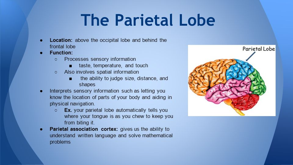 The Parietal Lobe ●Location: above the occipital lobe and behind the frontal lobe ●Function: ○Processes sensory information ■taste, temperature, and t
