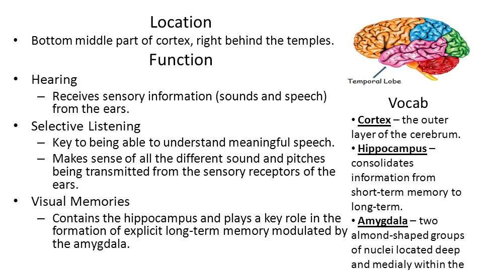 Location Bottom middle part of cortex, right behind the temples. Function Hearing – Receives sensory information (sounds and speech) from the ears. Se