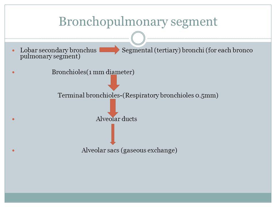 Lobar secondary bronchus Segmental (tertiary) bronchi (for each bronco pulmonary segment) Bronchioles(1 mm diameter) Terminal bronchioles-(Respiratory