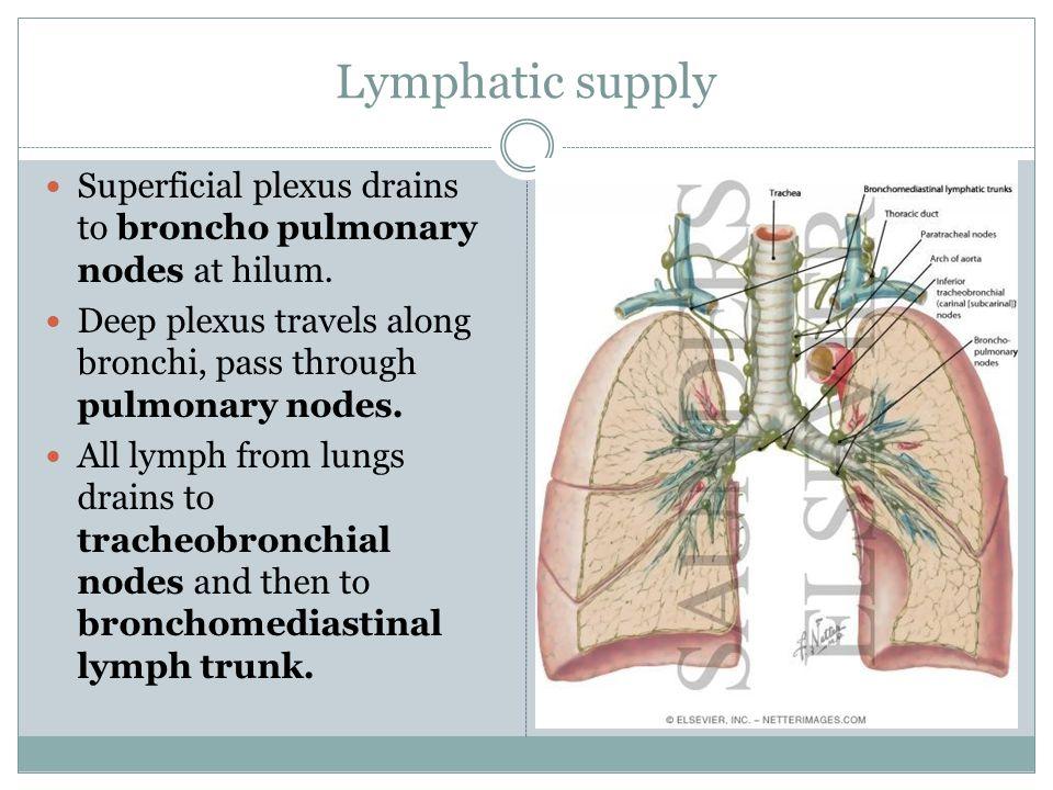 Lymphatic supply Superficial plexus drains to broncho pulmonary nodes at hilum. Deep plexus travels along bronchi, pass through pulmonary nodes. All l