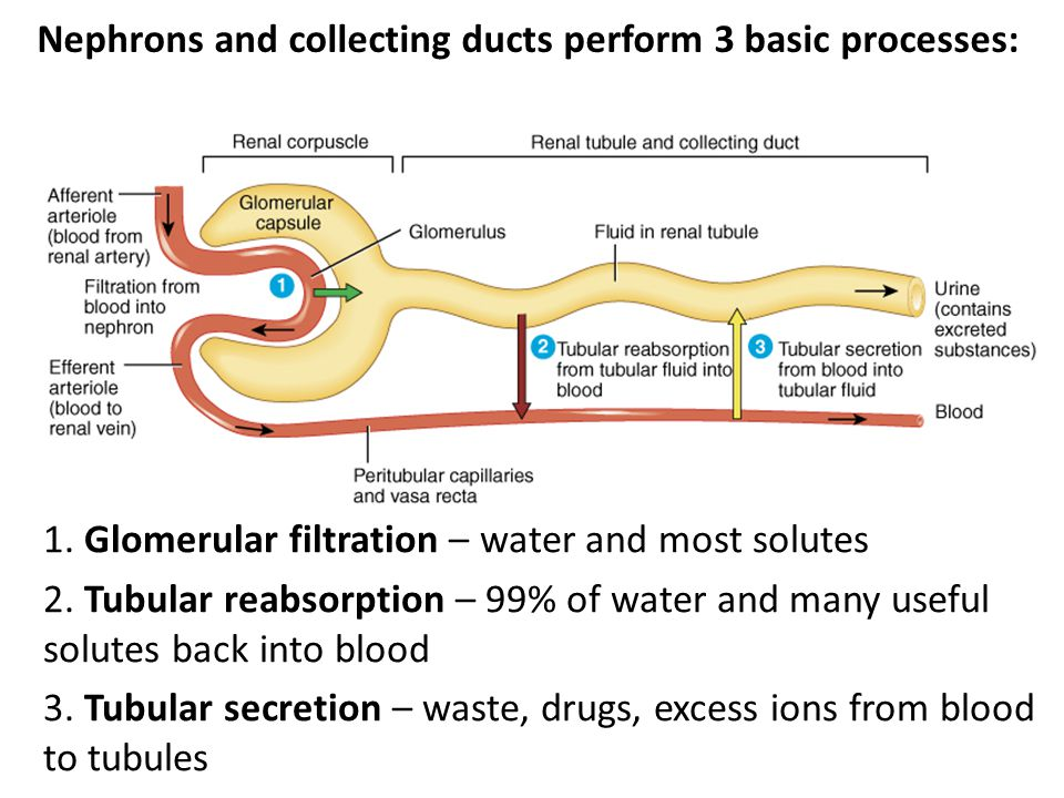1. Glomerular filtration – water and most solutes 2. Tubular reabsorption – 99% of water and many useful solutes back into blood 3. Tubular secretion