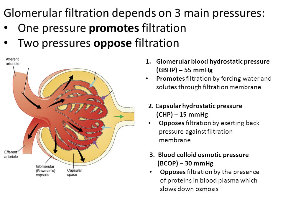 1.Glomerular blood hydrostatic pressure (GBHP) – 55 mmHg Promotes filtration by forcing water and solutes through filtration membrane 2. Capsular hydr