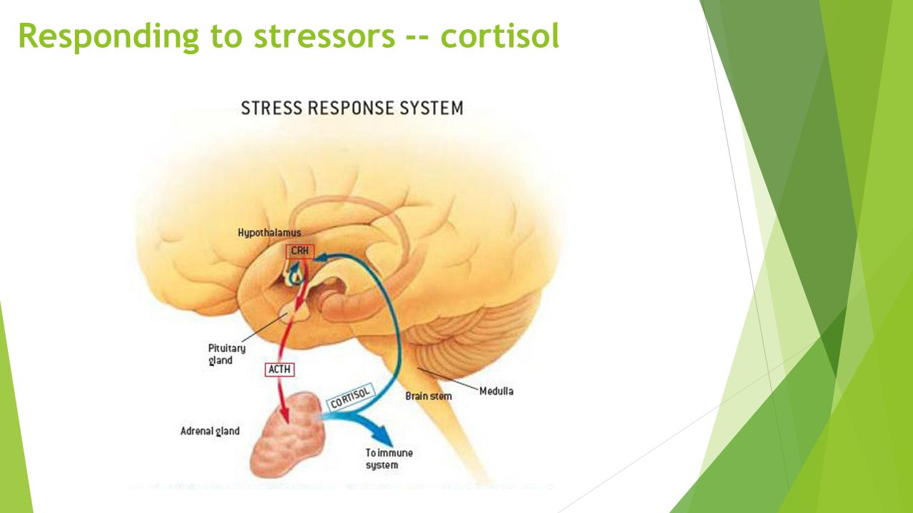 Responding to stressors -- cortisol