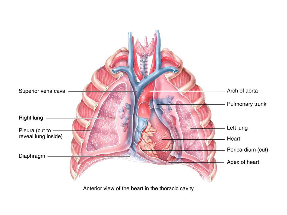 Conduction System 1% of cardiac muscle generate action potentials = Pacemaker & Conduction system Normally begins at sinoatrial (SA) node  Atria & atria contract AV node – slows the signal, then travels along:  AV bundle (Bundle of His)  bundle branches  Purkinje fibers  apex and up- then ventricles contract