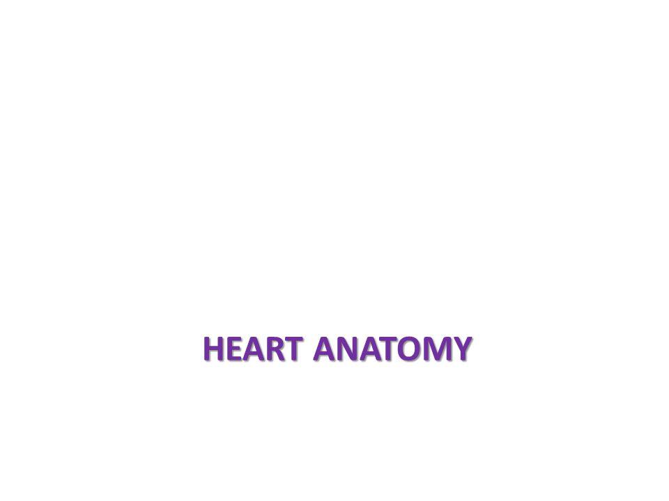Frontal plane SINOATRIAL (SA) NODE ATRIOVENTRICULAR (AV) NODE Left atrium Left ventricle Anterior view of frontal section ATRIOVENTRICULAR (AV) BUNDLE (BUNDLE OF HIS) RIGHT AND LEFT BUNDLE BRANCHES PURKINJE FIBERS 1 2 3 4 5 Right atrium Right ventricle