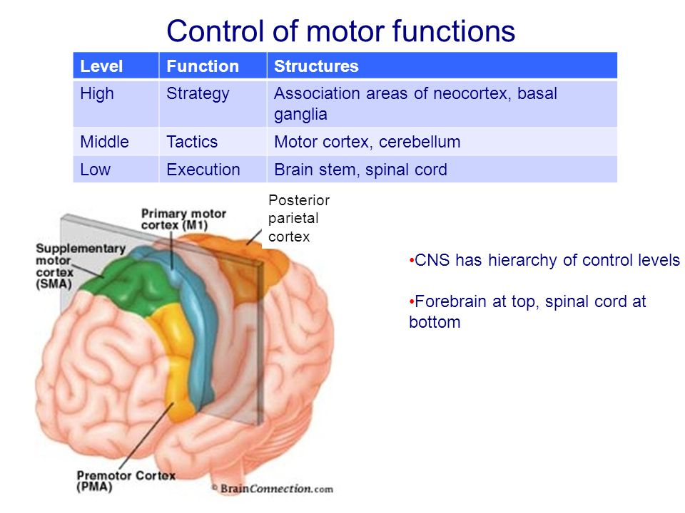 Control of motor functions Posterior parietal cortex LevelFunctionStructures HighStrategyAssociation areas of neocortex, basal ganglia MiddleTacticsMotor cortex, cerebellum LowExecutionBrain stem, spinal cord CNS has hierarchy of control levels Forebrain at top, spinal cord at bottom