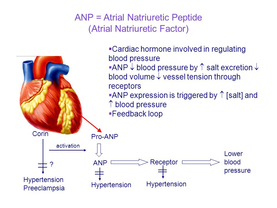 ANP = Atrial Natriuretic Peptide (Atrial Natriuretic Factor)  Cardiac hormone involved in regulating blood pressure  ANP  blood pressure by  salt excretion  blood volume  vessel tension through receptors  ANP expression is triggered by  [salt] and  blood pressure  Feedback loop Corin Hypertension Preeclampsia Pro-ANP ANP Hypertension Receptor Lower blood pressure activation