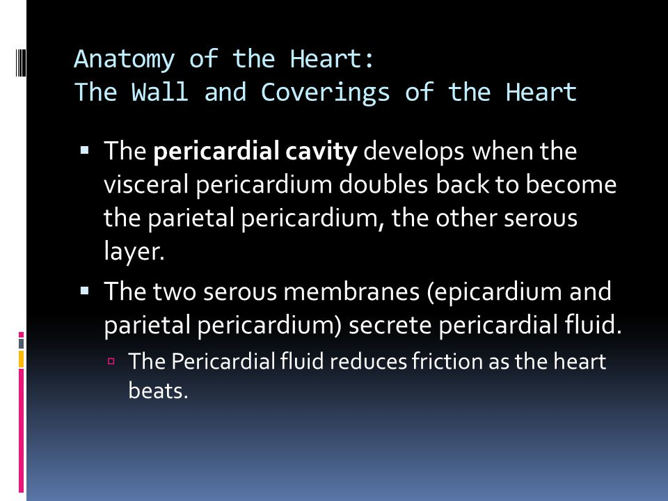 Anatomy of the Heart: The Wall and Coverings of the Heart  The pericardial cavity develops when the visceral pericardium doubles back to become the p