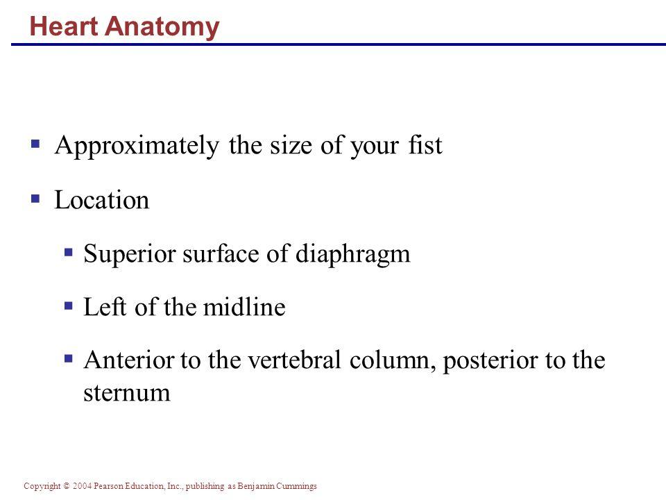 Copyright © 2004 Pearson Education, Inc., publishing as Benjamin Cummings Heart Anatomy Figure 18.1