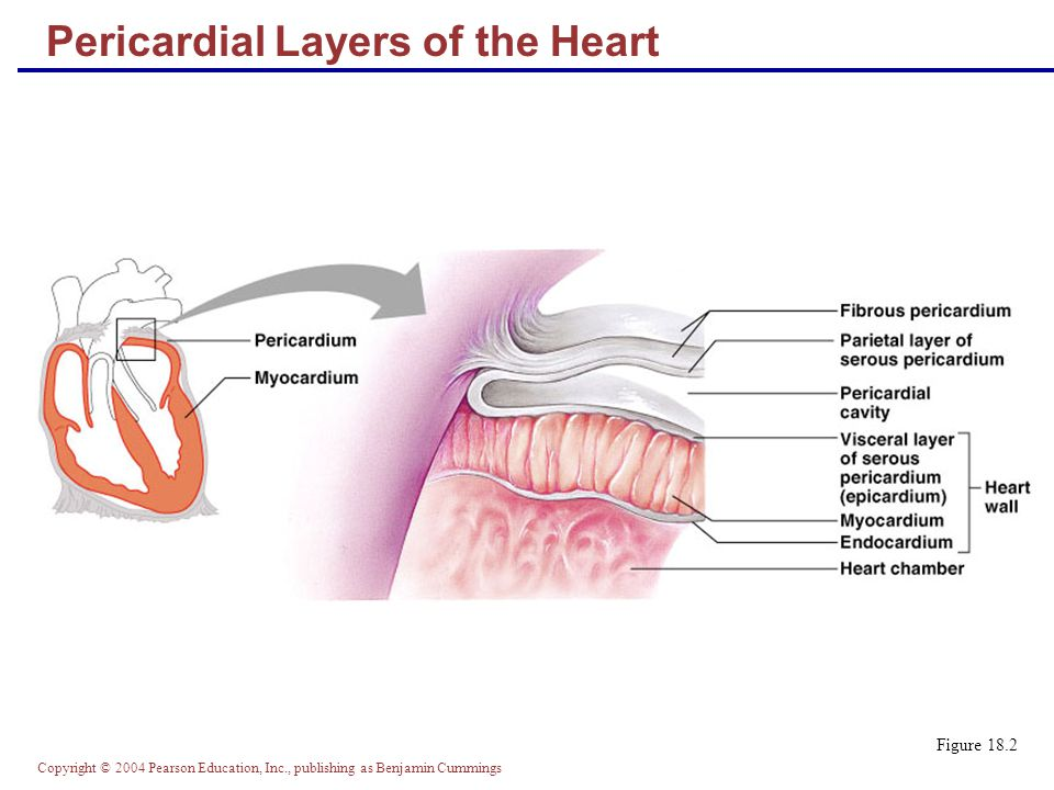Copyright © 2004 Pearson Education, Inc., publishing as Benjamin Cummings Cardiac Output (CO) and Reserve  CO is the amount of blood pumped by each ventricle in one minute  CO is the product of heart rate (HR) and stroke volume (SV)  HR is the number of heart beats per minute  SV is the amount of blood pumped out by a ventricle with each beat  Cardiac reserve is the difference between resting and maximal CO