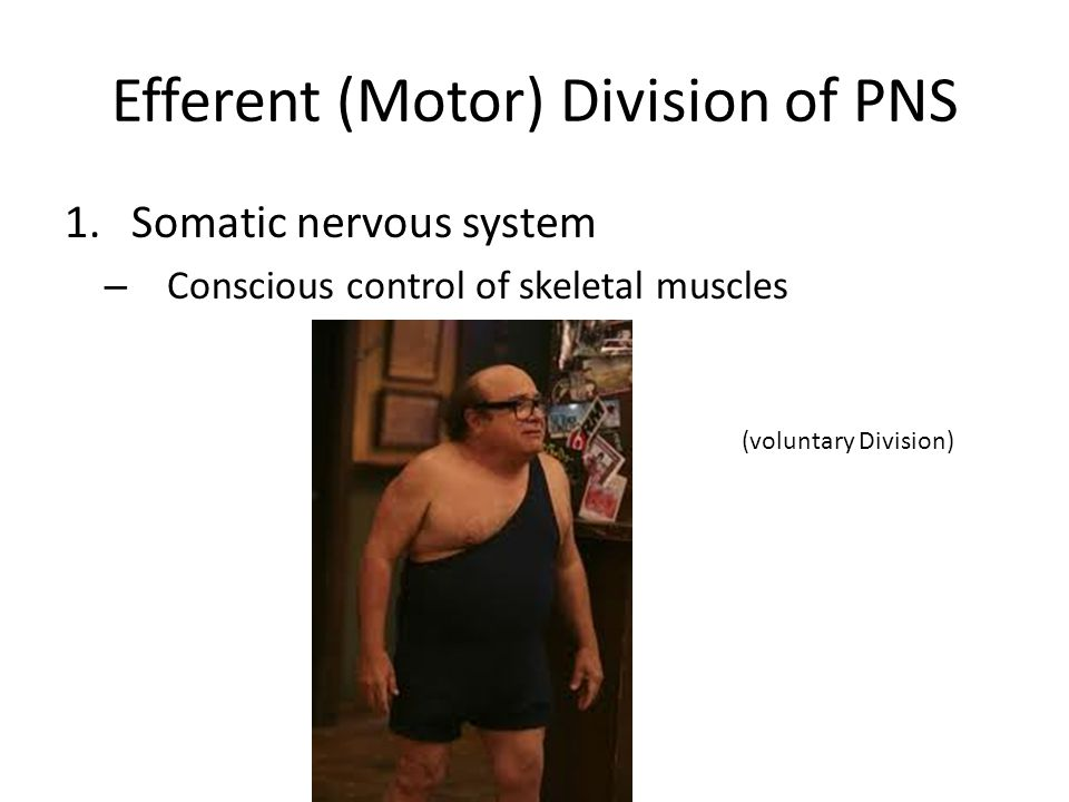 Efferent (Motor) Division of PNS 1.Somatic nervous system – Conscious control of skeletal muscles (voluntary Division)